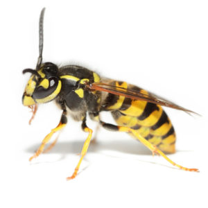 Wasp Bees Hornets