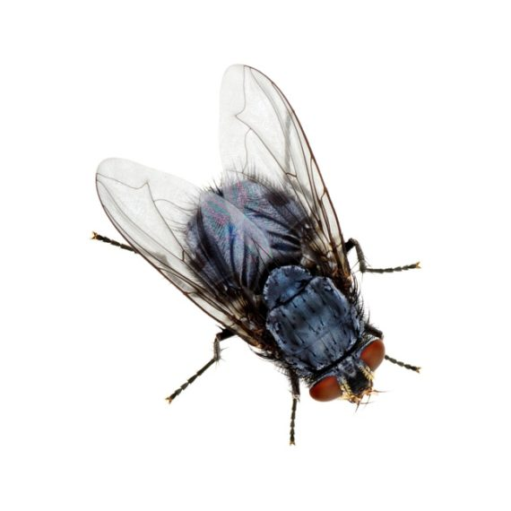Domestic Flies