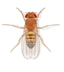 Mouches à fruit Drosophila