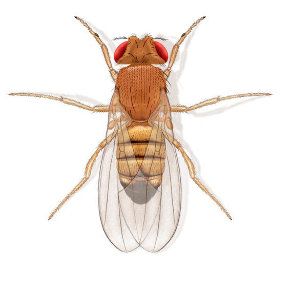 Drosophile Fruit Flies