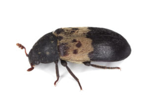 Larder beetle extermination