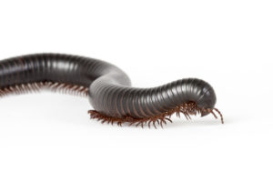 millipede extermination