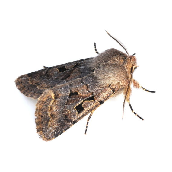 Meal Moths and Clothes Moths