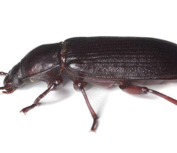 Triboliums and Red Flour Beetle
