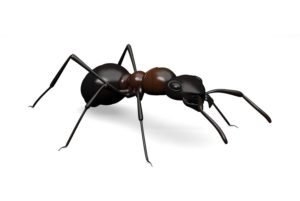 black-ant-extermination