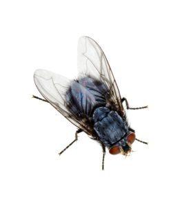Extermination des mouches domestiques photo Extermination Falcon